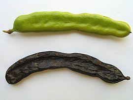 "Carob pods (top, unripe; bottom, ripe) פרי חרוב ויקיפדיה ארה""ב"