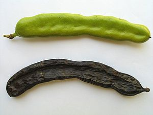 Tu BiShvat seder - Dried Carob is often eaten on Tu BiShvat, although it is not one of the Seven Species of the Land of Israel