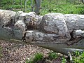 Carved Tree - geograph.org.uk - 843285.jpg