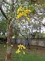 Cassia fistula in Mata Kacheri - panoramio.jpg