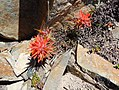 Castilleja miniata, scarlet paintbrush.jpg