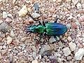 Catascopus (Catascopus) facialis (Wiedemann, 1819) Ground Beetle Carabidae (16262768561).jpg