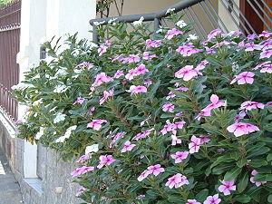 Catharanthus roseus.jpg