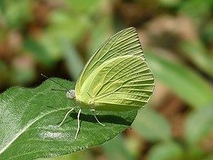 Catopsilia pomona - Catopsilia pomona 'crocale' male f. alcmeone in Kerala, India