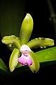 Cattleya tigrina fma. lilacina '-22' A.Rich., Portef. Hort. 2 166 (1848) (48356239896).jpg