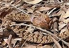 Causus rhombeatus in Mlilwane Wildlife Sanctuary 02.jpg