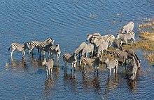 Cebras de las llanuras bebiendo en un río