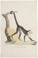 Cebus hypoleucus - 1818-1842 - Print - Iconographia Zoologica - Special Collections University of Amsterdam - UBA01 IZ20200154.tif