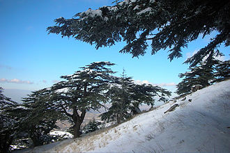 Al Shouf Cedar Nature Reserve - Cedars in winter