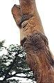 Cedars18(js).jpg