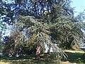 Cedrus libani - UK 8.jpg