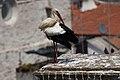 Cegonha Branca ( Ciconia ciconia ) 26 (48309257596).jpg