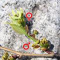 Celtis australis flowers.jpg