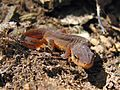 Central Newt (Notophthalmus viridescens louisianensis) - Flickr - GregTheBusker (1).jpg