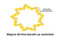 Centriole-schema ku.png