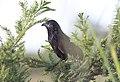 Centropus grillii, subvolwassene, Menongue, Birding Weto, a.jpg