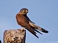 Cernicalo vulgar (falco tinnunculus canariensis)(♂) (4589249699).jpg
