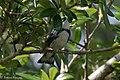 Cerulean Warbler (male) Anahuac NWR-Jackson Prairie Woodlot TX 2018-04-24 14-43-10 (42013107982).jpg