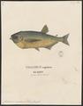 Chalcinus nematurus - 1700-1880 - Print - Iconographia Zoologica - Special Collections University of Amsterdam - UBA01 IZ14700061.tif