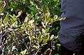 Chamaedaphne calyculata 2 c (16160346280).jpg