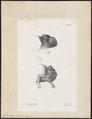 Chamaeleo spec. - 1700-1880 - Print - Iconographia Zoologica - Special Collections University of Amsterdam - UBA01 IZ12300003.tif