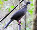 Chamaepetes goudotii -Mindo, Ecuador-8 (2).jpg