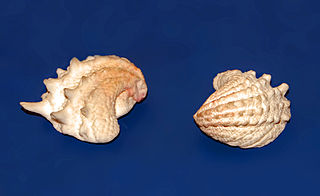 <i>Arcinella arcinella</i> species of mollusc