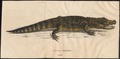 Champsa fissipes - 1700-1880 - Print - Iconographia Zoologica - Special Collections University of Amsterdam - UBA01 IZ12200011.tif
