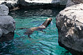 Chapultepec Zoo - California sea lion.jpg