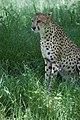 Cheetah (7613091528).jpg