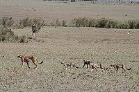 Een moeder cheetah gebruikt haar staart om haar welpen een teken te geven dat ze haar moeten volgen