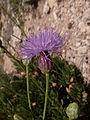 Cheirolophus crassifolius Malta Dingli Cliffs 03.jpg