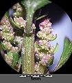 Chenopodium rubrum (s. str.) sl60.jpg
