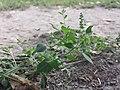 Chenopodium vulvaria sl65.jpg