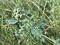 Chenopodium vulvaria sl69.jpg