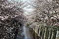 Cherry trees by the Meguro river (5735416145).jpg