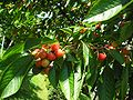 Cherrytree2-01.06.09.JPG