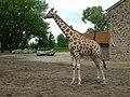 Chester Zoo, Giraffe - geograph.org.uk - 208837.jpg