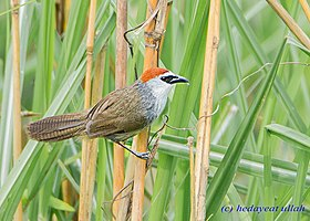 Chestnut-capped Babbler at Manas National Park, Assam, by Hedayeat Ullah.jpg