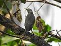 Chestnut-tailed starling 05.jpg