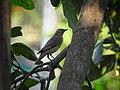 Chestnut-tailed starling 10.jpg