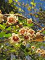 Chimonanthus praecox (fragrant wintersweet) (15783186048).jpg