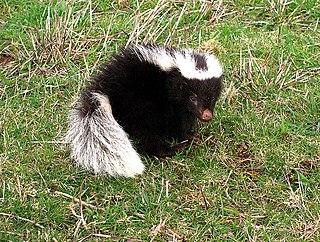 Molinas hog-nosed skunk species of mammal