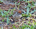 Chipping Sparrow male. Spizella passerina (37862273154).jpg