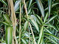 Chlorophytum comosum serres du Luxembourg.JPG