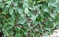 Chocolate mint plant.jpg