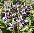 Chorispora tenella 7.jpg