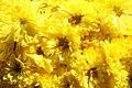 Chrysanthemum Okra 0zz.jpg