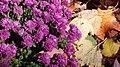 Chrysanthemum x morifolium.jpg