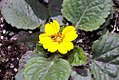 Chrysogonum virginianum Pierre 0zz.jpg